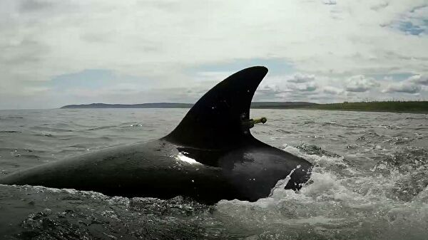 """Выпущенные из """"китовой тюрьмы"""" косатки мигрируют на юг"""