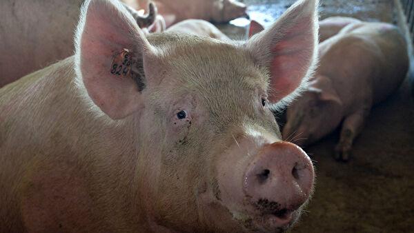 Год свинины: глобальная эпидемия оставит мир без мяса