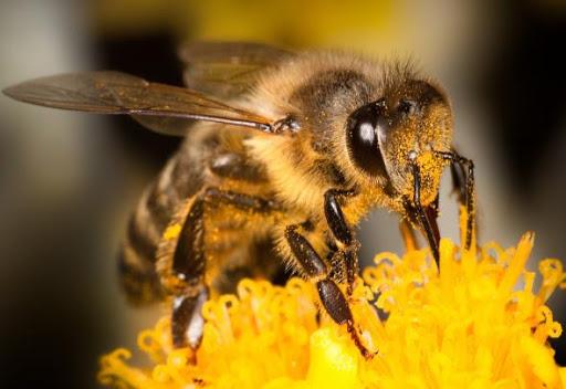 Схватка в Калифорнии: 40 тысяч пчел-убийц против полицейских и пожарных