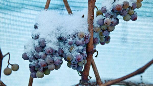 """Германия впервые в истории не собрала виноград для """"ледяного вина"""""""