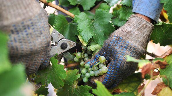 Эксперты предсказали снижение урожая винограда в России