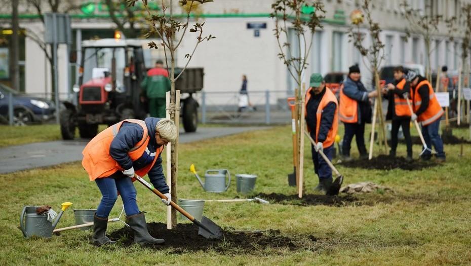 В Петербурге в октябре посадили 2,5 тыс. деревьев