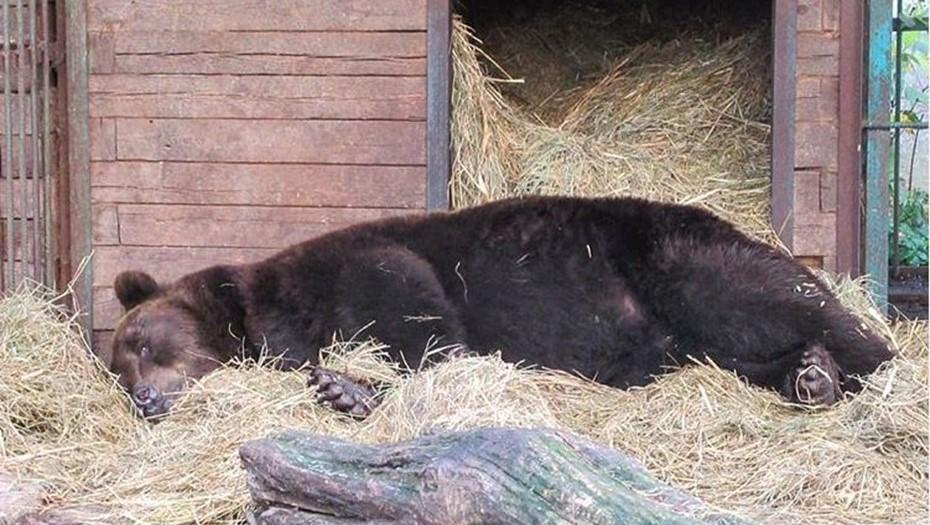 """В """"Велесе"""" первый медведь залёг в спячку"""