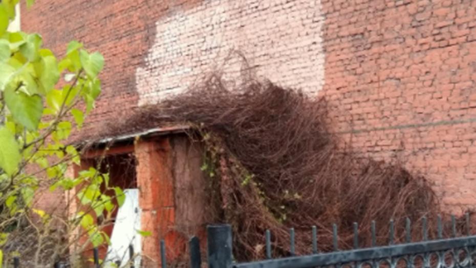 В центре Петербурга рухнула стена из девичьего винограда