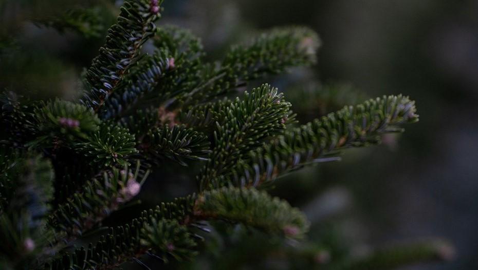В лесничестве Ленобласти перестали выдавать бесплатные ёлки петербуржцам