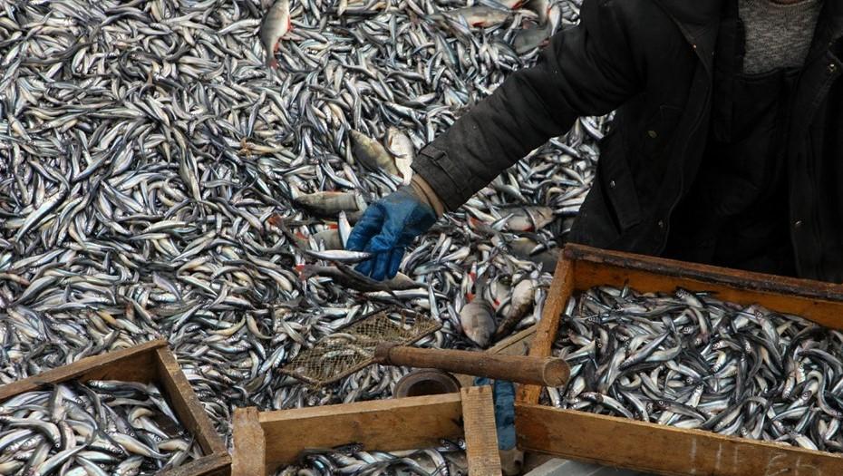 Около яхт-клуба в Зеленогорске обнаружили массовую гибель корюшки