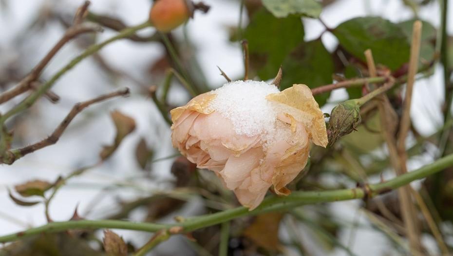 В парке 300-летия Петербурга заметили распустившиеся розы