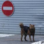 В Ухте ввели режим повышенной готовности из-за нападений бродячих собак