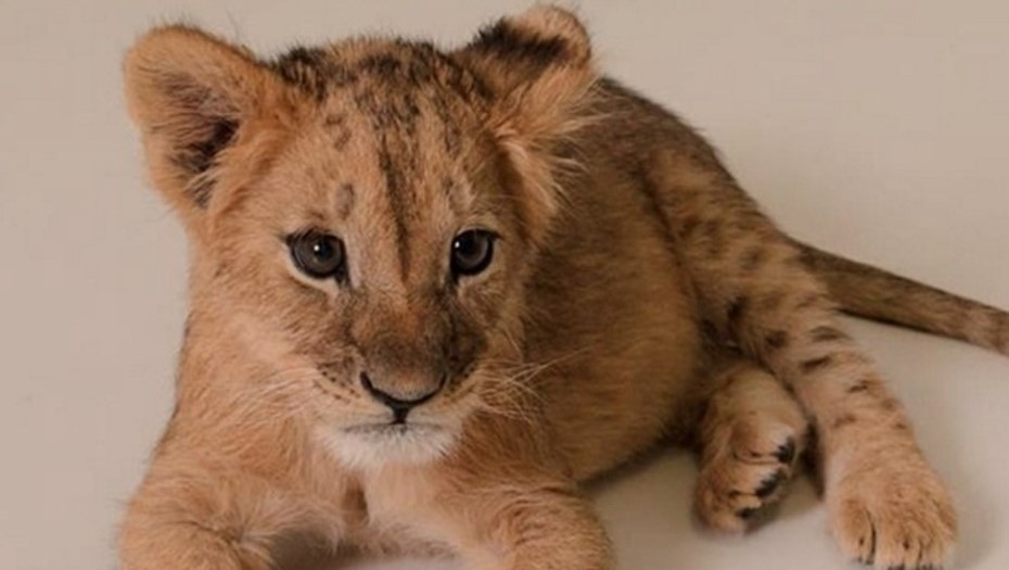 У владельцев из Петербурга изъяли незаконно ввезённого львёнка