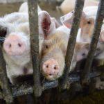 Псковские свиноводческие комплексы окружат буферными зонами без свиней