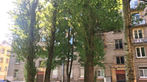 Суд отклонил иск петербуржца, пытавшегося спасти от вырубки тополь