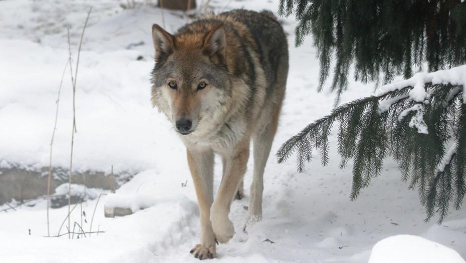 В Ленинградском зоопарке умерла волчица