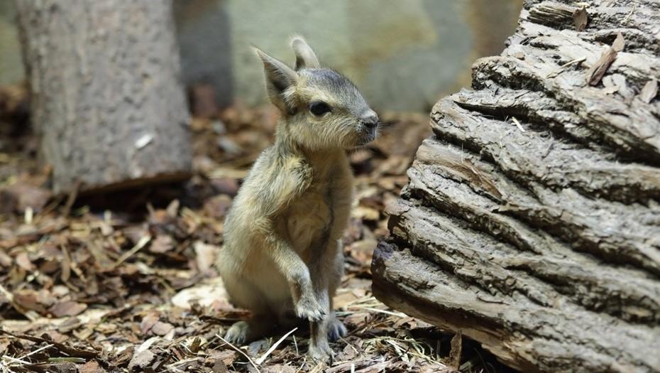 В Ленинградском зоопарке родились малыши патагонских мар