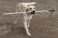 Передвижение собак-поводырей предлагают не ограничивать