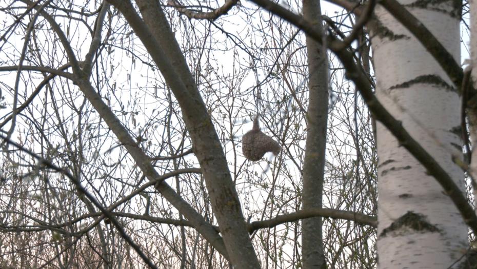 В Петербурге замечены необычные гнёзда краснокнижных птиц