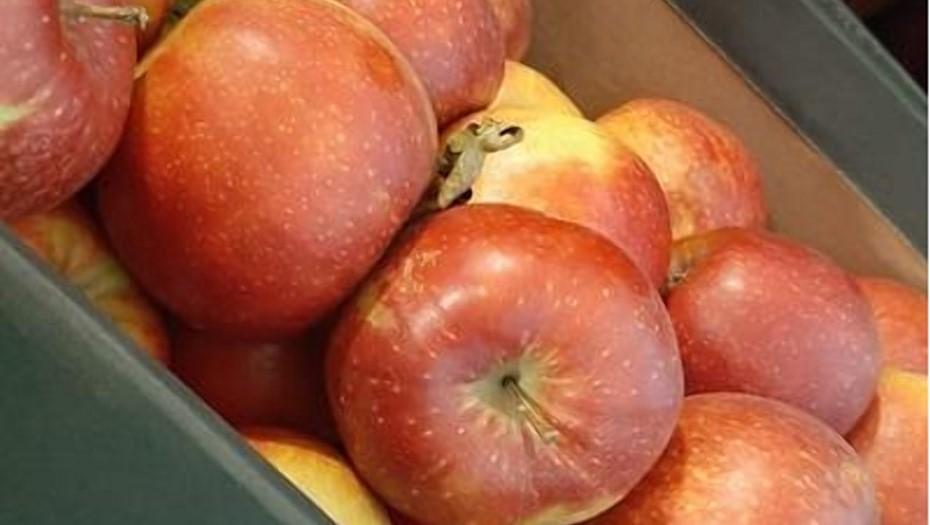 С овощебазы в Петербурге изъяли и уничтожили почти 700 килограммов польских яблок
