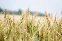 Майоров: урожай следует собрать в сжатые сроки и с минимальными потерями